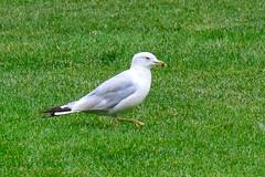 Ring-billed Gull (Larus delawarensis) (R-Gasman) Tags: travel bird ringbilledgull larusdelawarensis inglewoodbirdsanctuary calgary alberta canada