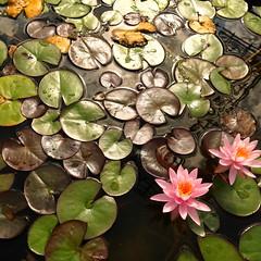 water lily basin (vertblu) Tags: waterlilies lilypads waterlilyleaves floral flowers water watersurface waterlilypads bsquare 500x500 green brown pink yellow summer summertime endofsummer vertblu