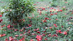 kolkata red rain (2) (kexi) Tags: kolkata india asia green red flowers fallen canon february 2017 nature