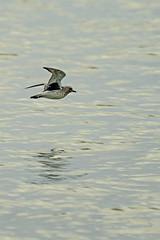 Grey Plover (ianbartlett) Tags: 365 outdoor wildlife nature birds flight monochrome sea sand water dogs groynes drone landscape light colour seal