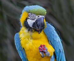 snack time (verona39) Tags: bird macaw nature multicolored smileonsaturday multicolora