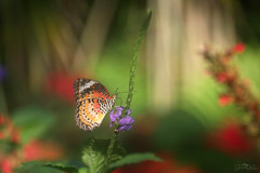 dream a little dream (judith.kuhn) Tags: tier natur animal nature insekt insect schmetterling butterfly leopardennetzfalter leopardlacewing cethosiacyane mainau deutschland germany blumen pflanzen blüten flowers blossoms plants