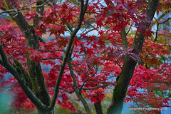 Herbst in rot (grafenhans) Tags: sony alpha 68 a68 alpha68 slt carl zeiss cz carlzeissjena ahorn rot herbst autumn blatt farben color grafenwald bottrop nrw sonnar