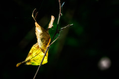 Trapped Leaf (Alfred Grupstra) Tags: nature leaf forest tree plant closeup autumn outdoors greencolor macro branch season beautyinnature backgrounds environment woodland yellow freshness nopeople brown