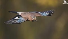 Jay In Flight (wide view) (Mick Erwin) Tags: flying bird flight flyby wings nikon afs 600mm f4e fl ed vr lens d850 mick erwin stoke trent staffordshire wildlife nature jays eurasianjay jaybird eurasian jay garrulus glandarius corvid