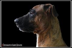 EN QUE PIENSA AMIGO BOBBY. WHAT DO BOBBY FRIEND THINK ABOUT. GUAYAQUIL - ECUADOR. (ALBERTO CERVANTES PHOTOGRAPHY) Tags: animal dog perro pet bobby puppy streetpuppy republicadelecuador guayaquil gye guayaquilecuador ecuador guayas indoor outdoor blur retrato portrait photography luz light color colores colors brightcolors photoborder photoart blackbackground colorlight closeup macro colornight p1a1 hunter ecuadorgye face