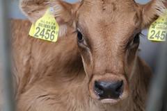 New  Life  always  wonderful (excellentzebu1050) Tags: newlife newborn dairycows farm livestock animalportraits closeup farmer animal calf birth coth coth5 sunrays5