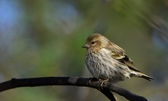 Pine Siskin (hd.niel) Tags: pinesiskin finch winterbirds migration nature ontario photography wildlife thistlenyjerseed flock autumn fall