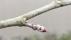 White Poplar - twig & buds close up - November 2018 (Exeter Trees UK) Tags: white poplar twig buds close up november 2018