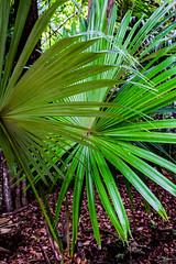 Guatemala, Tikal (keeswoestenenk2) Tags: 2018 boom guatemala jaar natuur palm plaats tikal