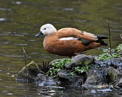 Prepare to launch (Grumpys Gallery) Tags: ruddyshelduck birds ducks wildlife nature