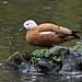 Prepare to launch (Grumpys Gallery) Tags: ruddyshelduck birds ducks wildlife nature