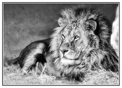Big Cat Anniversary (John Kirk - Photographer.) Tags: conservation doncaster bigcat southyorkshire lion wildlife