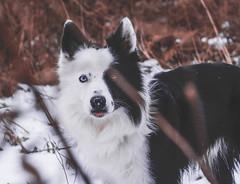 Trying Something New (Rainfire Photography) Tags: dog bordercollie heterochromia splitface