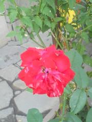 087 (en-ri) Tags: rosellina little rose rosso verde leaves foglie sony sonysti