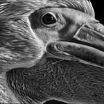 Pelican portrait thumbnail