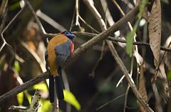 red naped trogon (koifarmer) Tags: rednapedtrogon rotnackentrogon male trogon bird harpacteskasumba sabah borneo malaysia wildlife jungle