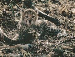 Cheetah - Acinonyx jubatus (Andy Pandy Pooh) Tags: acinonyxjubatus impala cheetah kenya