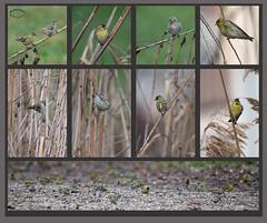 KUS850-6879 (Weinstöckle) Tags: vogel enz erlenzeisig