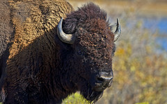 This is Bob the Bison, his name's Ricky, but most know him as Ralph. (Randy E. Crisp) Tags: recrisp randyecrisp randycrisp crisp canon woods wildlife outdoors water 2018 2017 2016 2015 2014 2013 2012 02011 2010 nature handheld 13cropcamera male female gender sex canon400mmf28 closeup headshot portrait canon1dmkiv fall buffalo bison wichitamountainswildliferefuge oklahoma