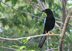 Geai du Yucatan Jay (Puce d'eau) Tags: jay geai yucatan birds aves oiseaux ornitho ornithologie ornithologique ornithology mexique quintana roo nature sauvage wildlife bleu noir canon eos 7d tamron 150600