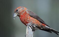 Red Crossbill -- Male (Loxia curvirostra); Sandoval County, NM, Thompson Ridge [Lou Feltz] (deserttoad) Tags: nature newmexico animal bird fauna wildbird red crossbill mountain