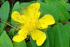 Johanniskraut (Gartenzauber) Tags: floralfantasy