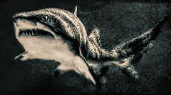 Apex Predator (FotoGrazio) Tags: art wildlife waynestevengrazio phototoart mothernature nature water fotograzio teeth grain waynegrazio texture photoeffect sealife waynesgrazio noise painterly grunge duotone fins predator deadly shark animal scary animals gritty photomanipulation fish