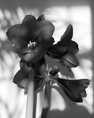 Amaryllis (richard.kralicek.wien) Tags: flowers blackandwhite