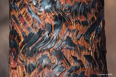 Scorched trunk, fan palm (Photosuze) Tags: trees abstract burned scorched palms fan palm patterns