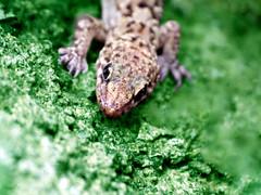 Il letargo interrotto (meghimeg) Tags: 2018 lavagna green geco gecko macromonday verde macro