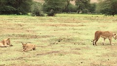 Lions, Video (Everyday Glory!!!) Tags: ngorongorocrater ngorongoro africa tanzania wildlife gamedrive safari lakemagadi lion bigcat felidae simba lioness lionpride pride