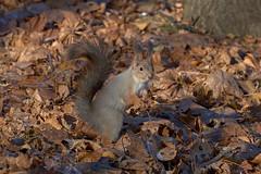 DSC_9640 (vovadvd) Tags: белки щукино squirrels nikon nikond750 tamron tamron70200g2