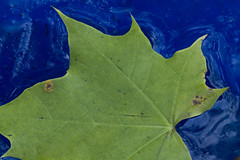 Green Leaf, Blue Ice (brucetopher) Tags: ice rainwater rain bucket leaf leaves fall autumn water frozen freeze freezing winter cold texture blue green maple surfacetension tension