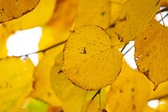 Golden (Future-Echoes) Tags: 4star 2018 autumn bokeh change depthoffield dof essex golden leaf leaves nature wickhambishops