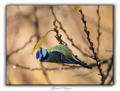 Mésange bleue-nov-001 (photographe 60) Tags: ambianceanimalière ambianceauomnale compositionphotographique mésangeàlonguequeue mésangebleue ornithologie pascalvergne pascalvergnephotographe pascalvergnephotographeoise passereaux roiltelettribandeau roitelet