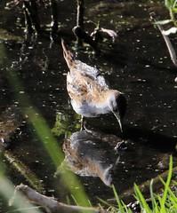 Baillon's Crake (Porzana pusilla) (iainrmacaulay) Tags: bird australia baillons crake porzana pusilla