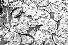 Lily Pads After Rain (pmorris73) Tags: arboretum pennstateuniversity statecollege pennsylvania century 2cee 3cee 4cee 5cee 6cee 7cee 8cee 9cee 1k