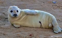 Grey Seal pup - Norfolk (Alan Woodgate) Tags: seal pup norfolk beach cute newborn horsey