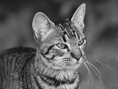 Bigotes (Ce Rey) Tags: cat gato chat gatto mascota mascotas pet pets animal animaldoméstico felino felin feline bw blancoynegro blackandwhite portrait retrato