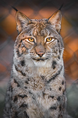 Portrait of a lynx (Soren Wolf) Tags: lynx animal animals lynxes zoo wrocław looking front bokeh short depth field dof beautiful sunny delightful big cat cats nikon d610