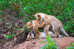 The Tackle (WhiteEye2) Tags: red fox kits redfoxkits redfox tackle tackling babyanimals wildlife nature ct connecticut cute adorable