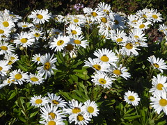 Wheaton, IL, Cantigny Park, Patch of Daisies (Mary Warren 12.4+ Million Views) Tags: wheatonil cantignypark park garden nature fauna insects bee fly flora plants green leaves foliage white blooms blossoms flowers daisies
