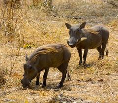 _DSC9613 (acomb) Tags: tanzania roadtrip warthog ruaha tandala