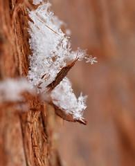 Snow Falling On Cedars (nrg_crisis) Tags: snow macro cedar bark outdoor