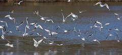 Fly Away (ArtGordon1) Tags: davegordon davidgordon daveartgordon davidagordon daveagordon artgordon1 winter hollowpond hollowponds leytonstone london england uk january 2019 bird birds birdinflight gull seagull