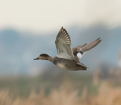 Rainham 04.12.18 flying duck