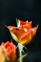 Orange Rose Blossom (thatSandygirl) Tags: rose orange yellow peach flower blossom bloom darkbackground bokeh depthoffield bright sun shade knoxcountychildrensgarden mountvernon ohio outdoors floral petals rosa