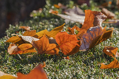 MS Bot Garten 20102018 031 (Dirk Buse) Tags: münster nordrheinwestfalen deutschland deu leaf leaves autumn color colorful detail close up nrw germany herbst farbe laub blätter bunt stimmung licht nature natur outdoor mft mu43 m43
