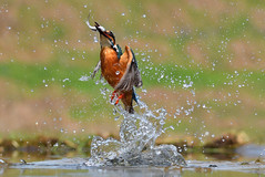 Diving Kingfisher (Alcedo atthis) (MarkYoud) Tags: kingfisher bird diving water splash fish